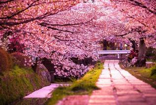 赏花迎客流高峰 预计60万国人赴日赏樱