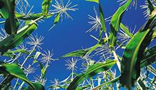 玉米割苗能增产20%~30%?不靠谱!