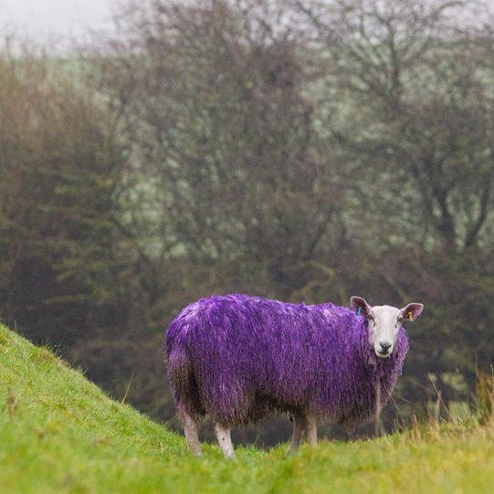 """英国公路现""""紫色绵羊"""" 纪念""""世界自闭症月"""""""
