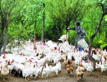 洛阳六旬夫妻孤岛养鸡替子还债 拒收捐款
