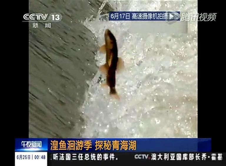 实拍湟鱼洄游逐激流而生 争相跳跃大坝