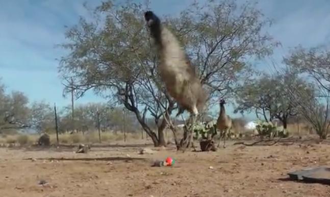 黄鼠狼带球吓得鸵鸟跳踢踏舞 原来是玩偶